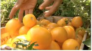 Harvesting yellow tomatoes