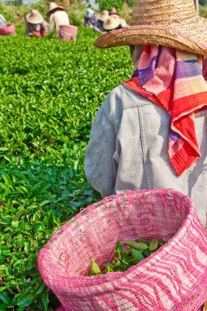 Tea farm worker