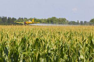Corn field sprayed with pesticides