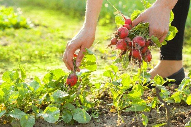 Girl picking radishes