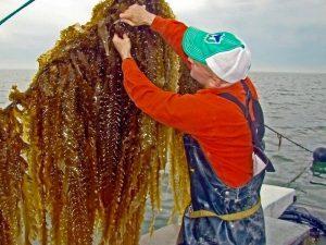 Bren harvesting kelp